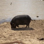 Pot Bellied Pig