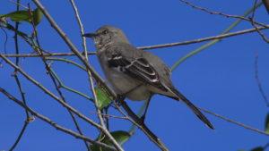 Resident Mockingbird